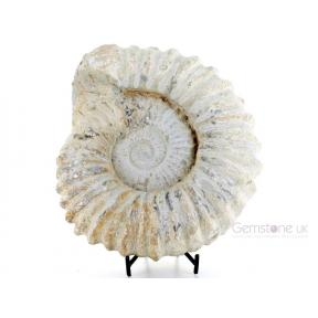 Ammonite, Acanthoceras - Large